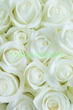 Фотообои Светлые розы