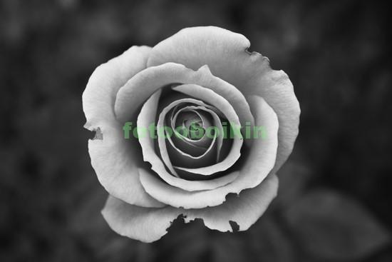 Фотообои Одна белая роза