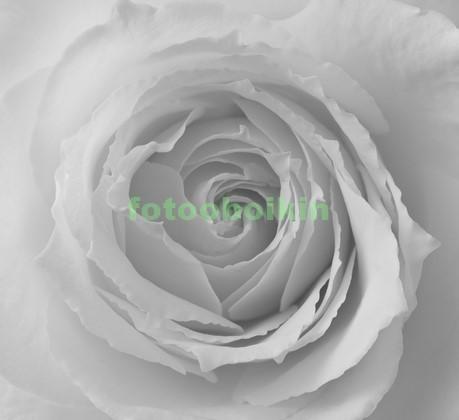 Фотообои Белая роза