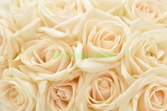 Фотообои Белые нежные розы