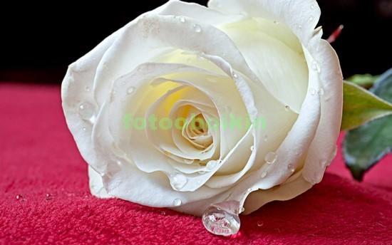 Фотообои Белая роза на полотне