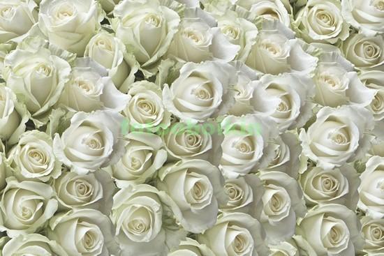 Фотообои Ковер из белых роз