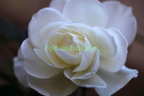Фотообои Чайная белая роза