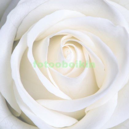 Фотообои Белосненая роза