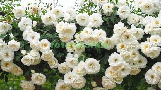 Фотообои Белые розы в саду