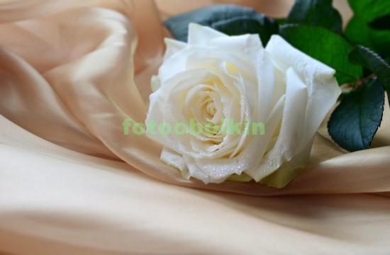 Фотообои Белая роза на шелковом полотне