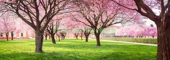 Фотообои Вишневый сад