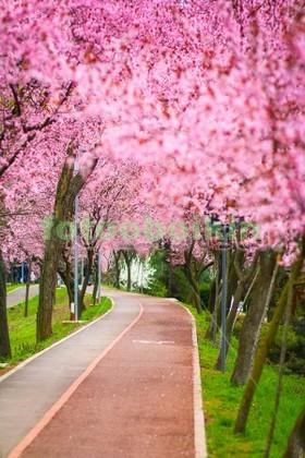 Фотообои Цветущая сакура в саду