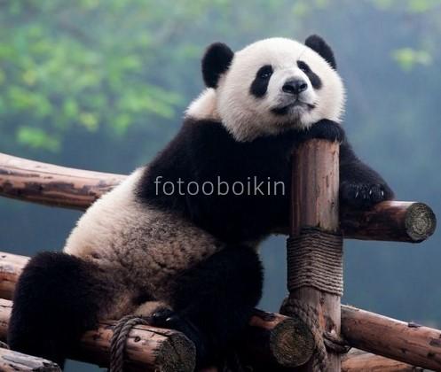 Фотообои Панда мечтает