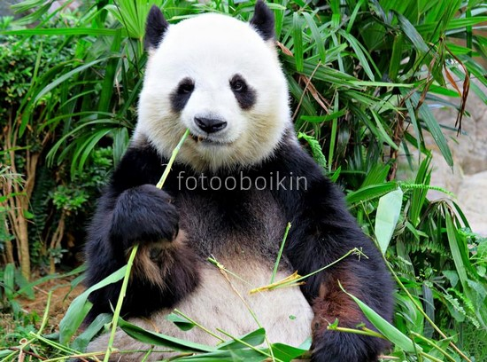 Фотообои Панда и бамбук