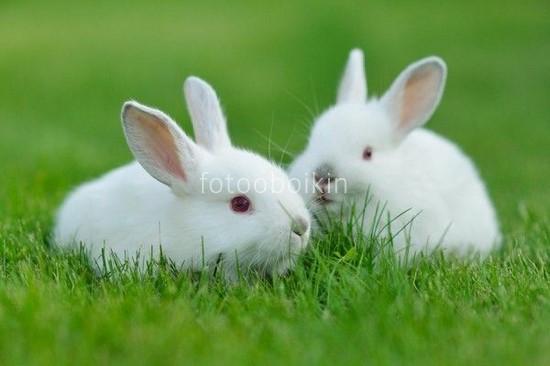 Фотообои Белые кролики