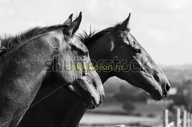 Фотообои Лошади ЧБ