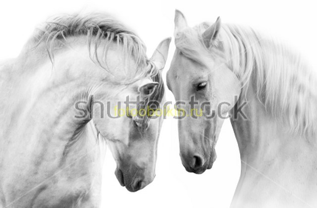 Фотообои Лошади на белом фоне