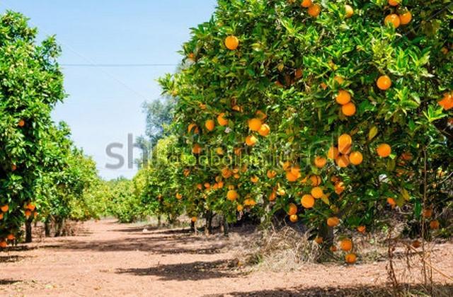Фотообои Абрикосовые деревья
