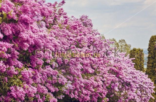 Фотообои Сирень. Деревья
