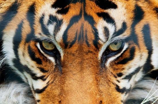 Фотообои Взгляд Тигра