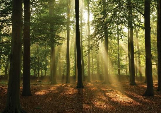 Фотообои Лес с солнечным светом