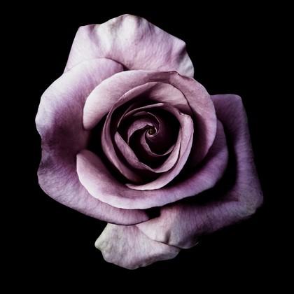 Фотообои Роза фиолетовая на черном фоне