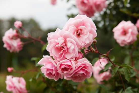 Роза розовая в саду