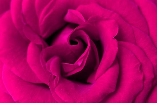 Фотообои Бутон розовой розы