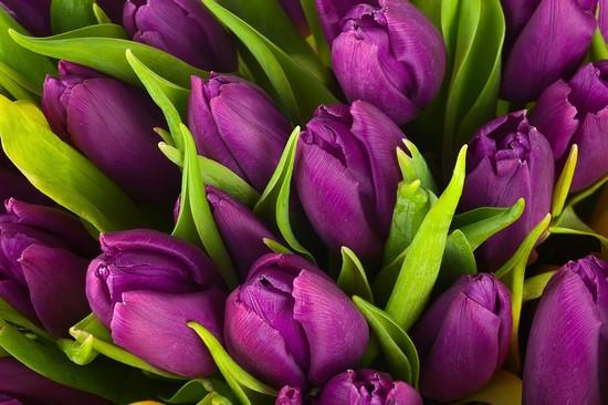 Фотообои Фиолетовые тюльпаны