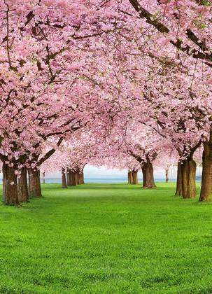 Парк из Сакуры