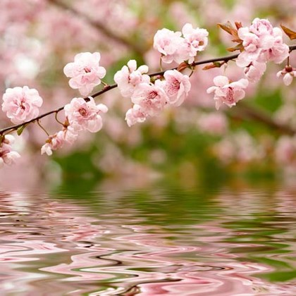 Розовый цветок на воде