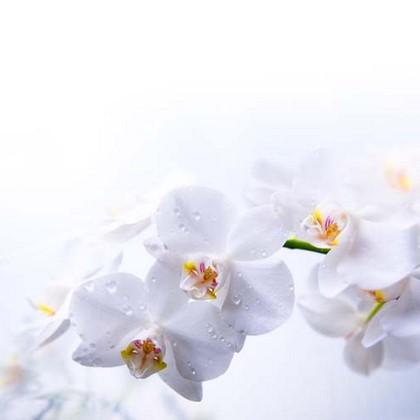 Фотообои Орхидея белая на белом фоне