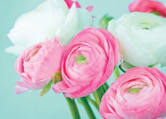 Фотообои Розово-белые пионы на бирюзовом фоне