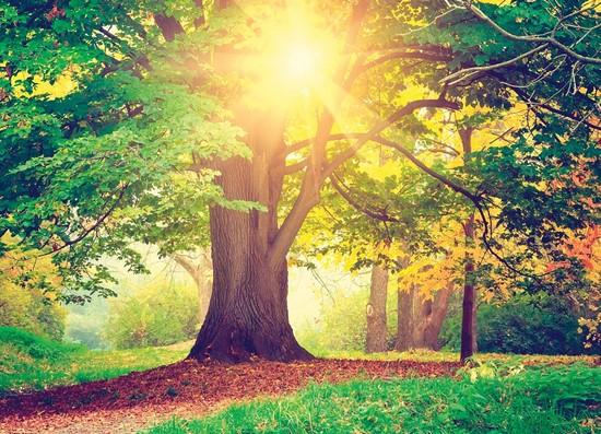 Фотообои Солнечный дуб