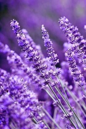 Фотообои Лаванда ярко-фиолетовая