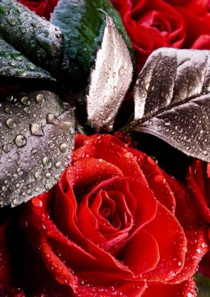 Фотообои Черно-красная роза