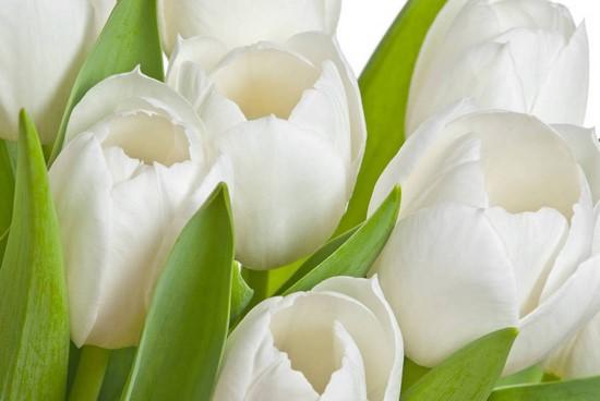 Фотообои Тюльпаны белые