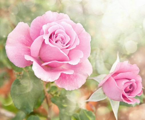 Фотообои Бело-розовая роза