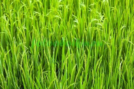 Фотообои Светлая трава