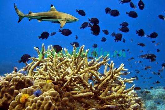 Фотообои Рифовая акула