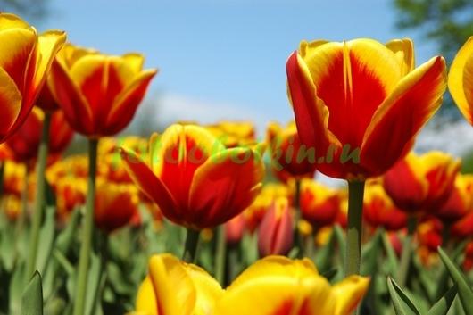 Фотообои Желто-красные тюльпаны