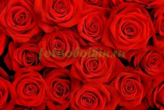 Фотообои Алые розы
