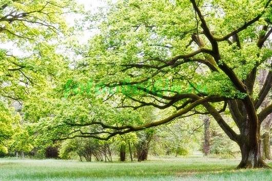 Фотообои Раскидистое дерево