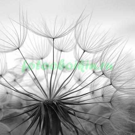 Фотообои Черно-белый одуванчик