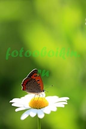 Фотообои Бабочка на ромашке