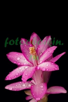 Фотообои Розовый цветок в каплях