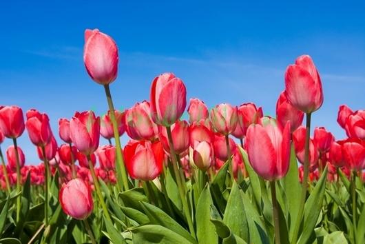 Фотообои Бело-красные тюльпаны