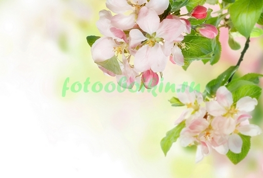 Фотообои Цветы и бутоны сакуры