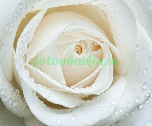 Фотообои Белая роза с каплями