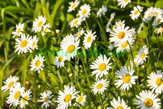 Фотообои Ромашки в траве