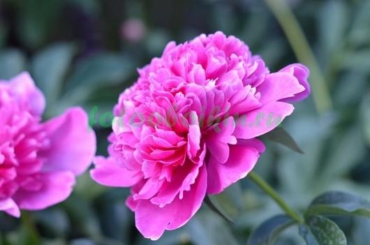 Фотообои Розовый пион