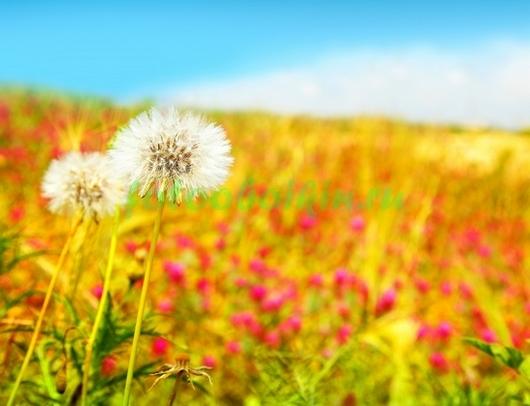 Фотообои Осеннее поле с одуваничками