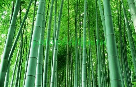 Фотообои Бамбук цвета морской волны