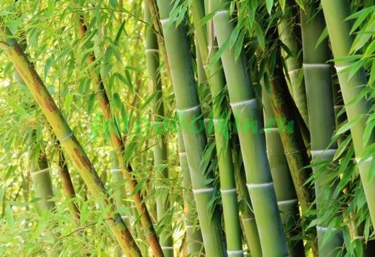 Фотообои Голубой бамбук